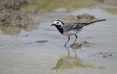 Pied Wagtail (Motacilla alba) hunting in the water, Vosges du Nord Regional Nature Park, France