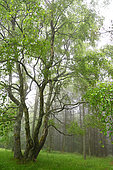 Downy birch (Betula pubescens) with 4 trunks in spring Vosges du Nord Regional Nature Park, France