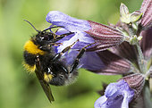 Garden Bumblebee (Bombus hortorum) on Kitchen sage (Salvia officinalis) flower, Vosges du Nord Regional Nature Park, France