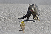 House cat and European Serin (Serinus serinus) on the road, Vosges du Nord Regional Nature Park, France
