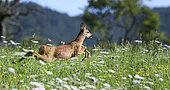 Roe Deer (Capreolus capreolus) jumping in a meadow in summer, Vosges du Nord Regional Nature Park, France
