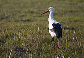 White stork (Ciconia ciconia) in a meadow with a beacon on its leg, Pays de Loire, France