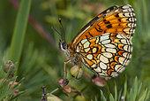 Heath Fritillary (Melitaea athalia), Vosges du Nord Regional Nature Park, France