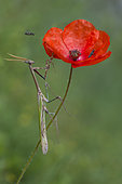 Conehead Mantis (Empusa pennata) lying in wait on a poppy, Mont Ventoux, Provence, France