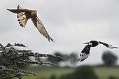 Kestrel (Falco tinnunculus) female chasing a magpie near the nest, Vosges du Nord Regional Nature Park, France