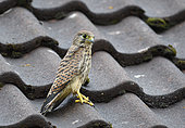 Kestrel (Falco tinnunculus) young on a roof just after fledging from the nest Parc naturel régional des Vosges du Nord, France
