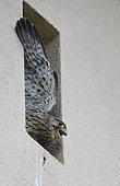 Kestrel (Falco tinnunculus) young bird just before fledging, Vosges du Nord Regional Nature Park, France