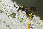 Cuckoo wasp (Leucospis dorsigera) on wild carrot (Daucus carotta) flowers, Vosges du Nord Regional Nature Park, France