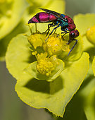 Cuckoo wasp (Chrysura cuprea) on euphorbia flower, Mont Ventoux, Provence, France