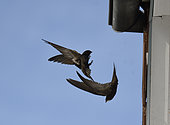 Common Swift (Apus apus) pair in flight at nest, Vosges du Nord Regional Nature Park, France