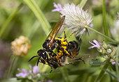 European Beewolf (Philanthus triangulum) female stinging a honey bee (Apis mellifera), Vosges du Nord Regional Nature Park, France