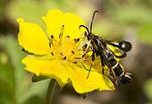 Clearwing moth (Chamaesphecia empiformis) on Creeping cinquefoil (Potentilla reptans) flower, Vosges du Nord Regional Nature Park, France