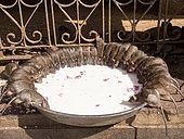 Sacred Rats, Karni Mata Temple or Rat Temple, Deshnoke, Rajasthan, India, Asia