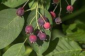 Ripe fruits of the Snowy mespilus (Amelanchier ovalis), Bavaria, Germany, Europe