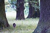 Raccoon (Procyon lotor) in a meadow in Oak grove, Hesse, Germany, Europe