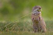 European ground squirrel (Spermophilus citellus) feeding on poppy pods, foraging, Kiskunsag National Park, Hungary, Europe