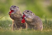 European ground squirrel (Spermophilus citellus) feeding on poppy flowers, foraging, pair, Kiskunsag National Park, Hungary, Europe