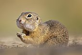 European ground squirrel (Spermophilus citellus) with collected food in cheek pouches, hamster cheeks, stocking up for winter, foraging, pair, Kiskunsag National Park, Hungary, Europe