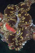 Fluted Giant Clam (Tridacna squamosa), Bio Rock dive site, Pemuteran, Buleleng Regency, Bali, Indonesia