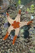 Heffernan's Sea Star (Fromia heffernani), Bio Rock dive site, Pemuteran, Buleleng Regency, Bali, Indonesia