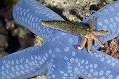 Luzon Sea Star (Echinaster luzonicus) regenerating from a single arm on top of Blue Star (Linckia laevigata), Bio Rock dive site, Pemuteran, Buleleng Regency, Bali, Indonesia
