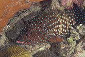 Blue-spotted Grouper (Cephalopholis cyanostigma), Bio Rock dive site, Pemuteran, Buleleng Regency, Bali, Indonesia