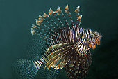 Andover Lionfish (Pterois andover) with extended fins, Bio Rock dive site, Pemuteran, Buleleng Regency, Bali, Indonesia