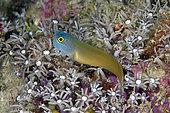 Eye Spot Blenny (Ecsenius ops) amongst Star Polyps (Briareum sp), Mangroves dive site, Menjangan Island, Buleleng Regency, Bali, Indonesia