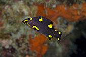 Juvenile Splitlevel Hogfish (Bodianus mesothorax), Post 1 dive site, Menjangan Island, Buleleng Regency, Bali, Indonesia
