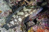 Specklefin Grouper (Epinephelus ongus), Post 1 dive site, Menjangan Island, Buleleng Regency, Bali, Indonesia