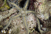Affinitive Brittle Star (Ophiarachna affinis), night dive, Mimpi Channel Jetty dive site, near Menjangan Island, Buleleng Regency, Bali, Indonesia