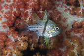 Orbicular Cardinalfish (Sphaeramia orbicularis) by Carnation Coral (Dendronephthya sp), night dive, Mimpi Channel Jetty dive site, near Menjangan Island, Buleleng Regency, Bali, Indonesia
