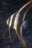 Juvenile Blunthead Batfish (Platax teira), Secret Bay dive site, Gilimanuk, Jembrana Regency, Bali, Indonesia