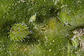 Kuro Sea Slugs (Costasiella kuroshimae) on Green Algae (Avrainvillea sp), Puri Jati dive site, Seririt, Buleleng Regency, Bali, Indonesia