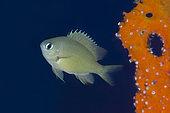 Scaly Chromis (Chromis lepidolepis), Napolean Reef dive site, Pemuteran, Buleleng Regency, Bali, Indonesia