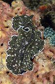 Spangled Flatworm (Acanthozoon alderi), Underwater Temple dive site, Pemuteran, Buleleng Regency, Bali, Indonesia
