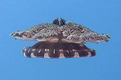 Upside-down Jellyfish (Cassiopeia andromeda), Jetty dive site, Pemuteran, Buleleng Regency, Bali, Indonesia