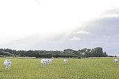 Cattle breeding, Marais vendéen, Talmont St Hilaire, Vendée, Pays de Loire, France