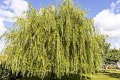 Weeping willow (Salix babylonica)