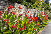 Row of Cannas along a wall, Talmont St Hilaire, Vendée, Pays de Loire, France