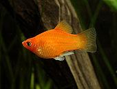 Platy rouge (Xiphophorus maculatus) mâle en aquarium