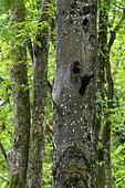 Black woodpecker (Dryocopus martius) Couple in their lodge in a beech tree in spring, Belleville communal forest, Lorraine, France