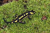 Salamandre tachetee (Salamandra salamandra) sur une souche moussue au printemps, Forêt des environs de Boucq, Lorraine, France