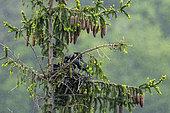 Carrion crow (Corvus corone corone) nesting in a spruce tree, Lorraine, France