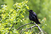 Carrion crow (Corvus corone corone) on a branch, Lorraine, France