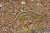 Slow worm (Anguis fragilis) on roadside, Lorraine, France