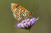 Spotted Fritillary (Melitaea didyma) Resting with closed wings on a scabious flower in spring, Massif des Maures, near Hyères, Var, France