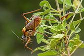 Provence saddle-backed bush cricket (Ephippiger provincialis) on vegetation, Maures massif, Var, France