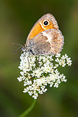 Small Heath (Coenonympha pamphilus) Posed with closed wings on an umbelliferae in spring, Plaine des Maures, Environs des Mayons, Var, France