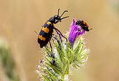 Blister beetle (Mylabris variabilis) posed on Vipersbugloss (Echium sp) in spring, Plaine des Maures, Environs des Mayons, Var, France